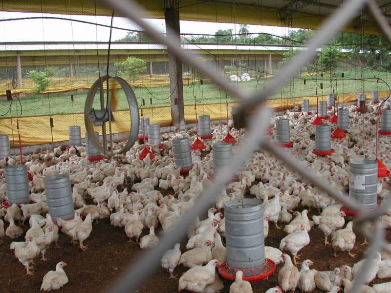 Producción mundial de pollo cercana a 83,1 millones de toneladas en 2012