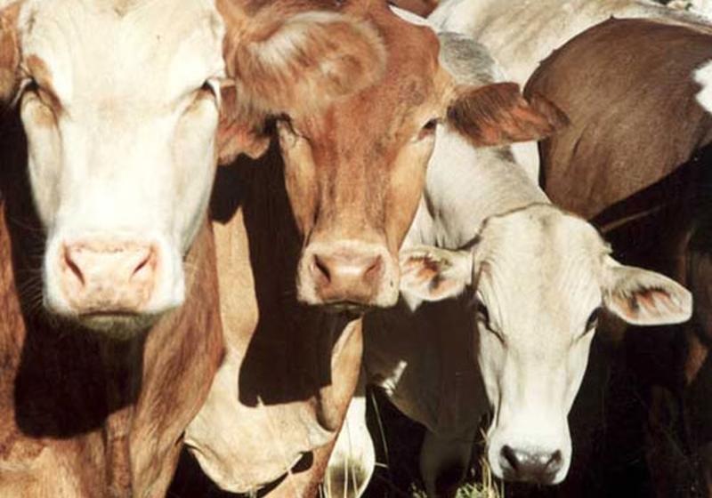 UE limitará el uso de antibióticos en animales por efectos en la salud humana