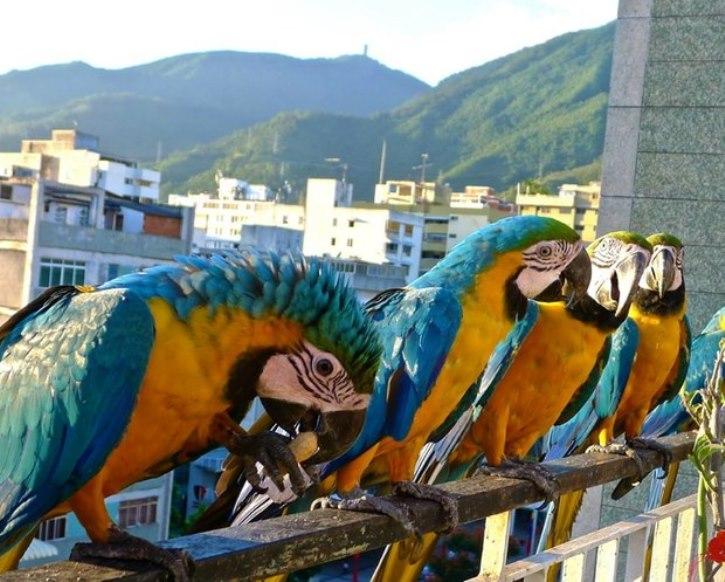 Guacamayas Caracas 1