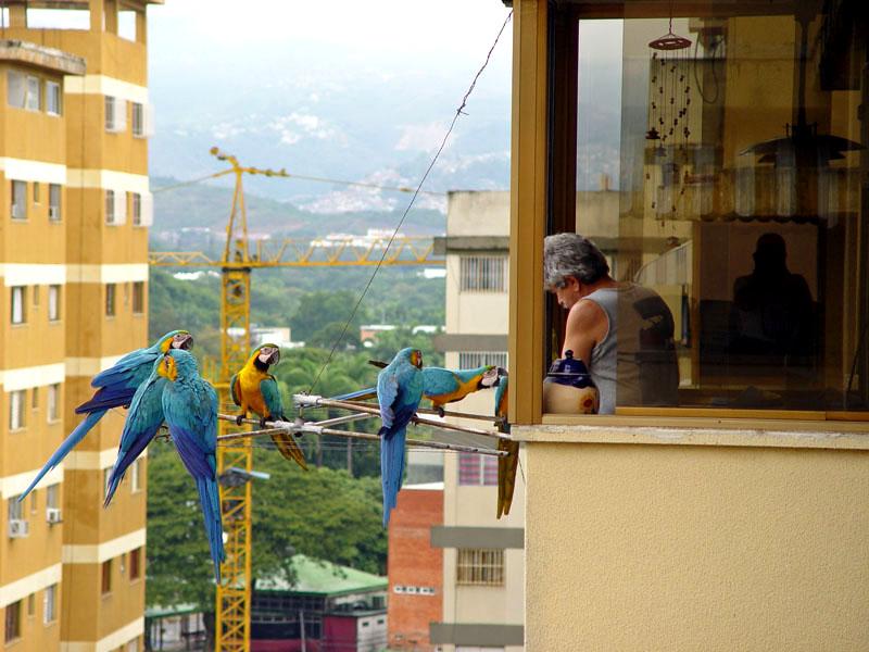 Guacamayas Caracas 2