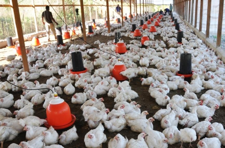 Pollos 14