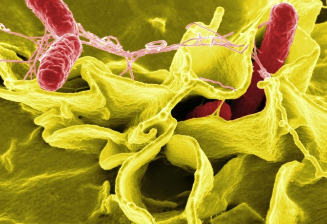 Credit: Rocky Mountain Laboratories,NIAID,NIH