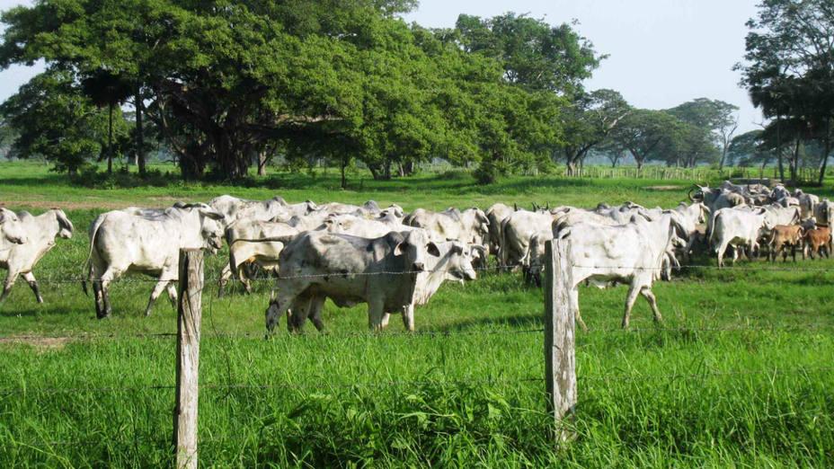 ganado-venezolano-50