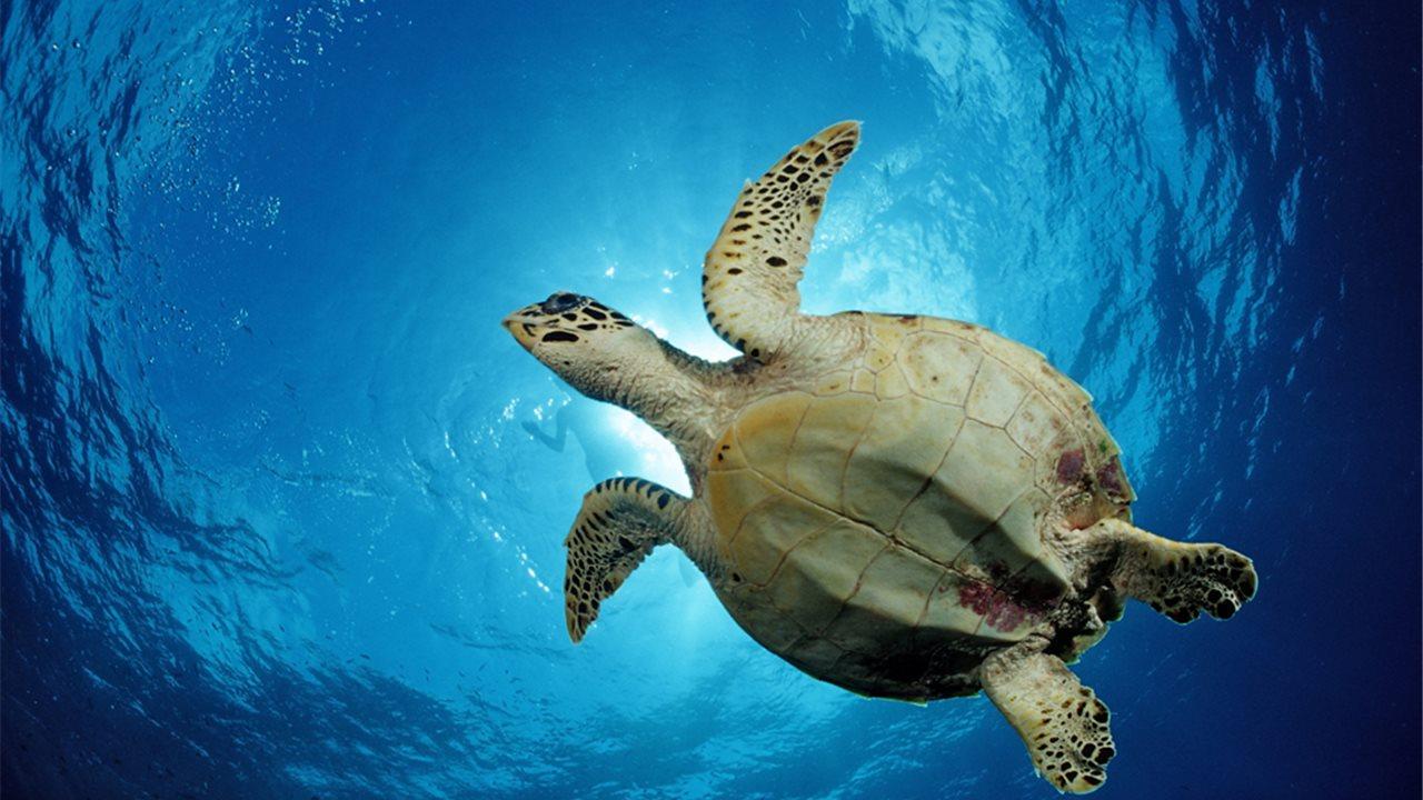 La tortuga es un reptil vertebrado y poiquilotermo, es decir, es capaz de regular su temperatura según la temperatura ambiental.