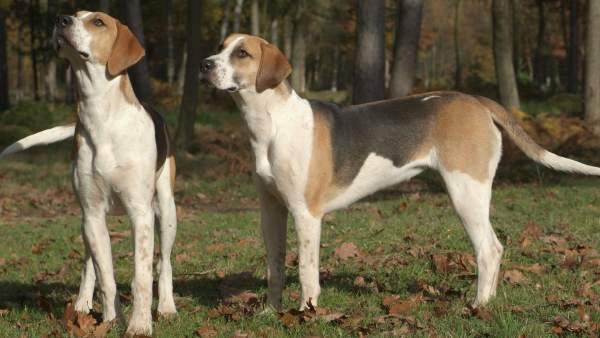 Los perros pueden ser un riesgo potencial para futuras pandemias de influenza.
