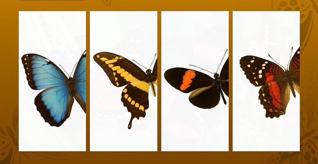 Participa para elegir la Mariposa Nacional de Venezuela
